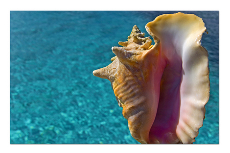 Queen Conch :: Provo . Turks and Caicos Islands