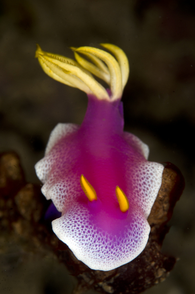 Bullocki Nudibranch :: Lembeh . Indonesia