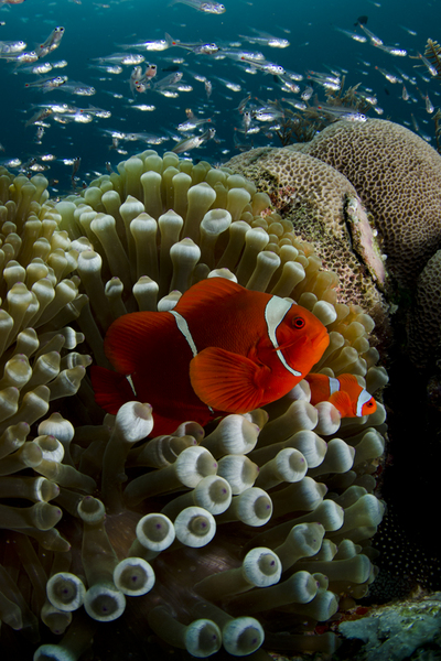 Spine Cheek Anemonefish :: Manta Sandy . Indonesia