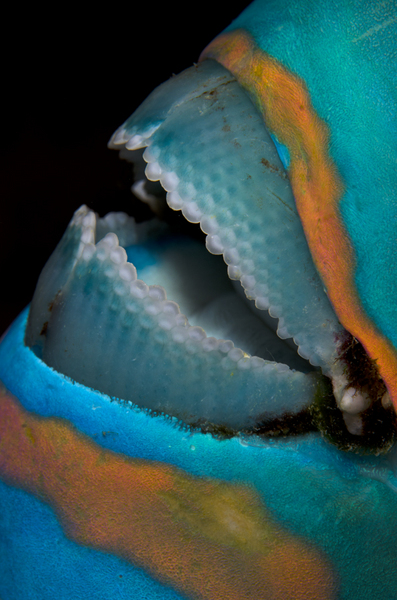 Parrotfish Mouth :: Maldives