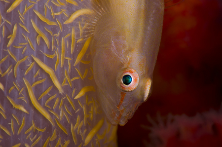 Soft Coral Goby :: Anilao . Philippines