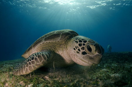 Green Sea Turtle :: Palawan Islands . Philippines