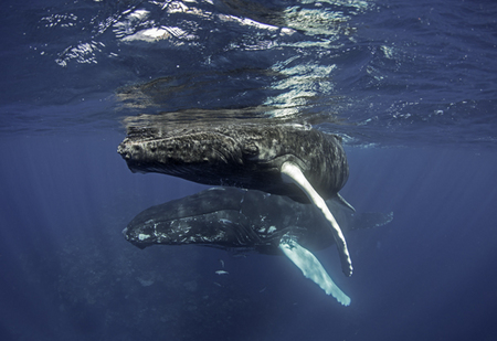 Humpback Whale :: Silver Bank . Dominican Republic