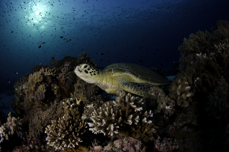 Green Sea Turtle :: Tubbataha Atoll . Philippines