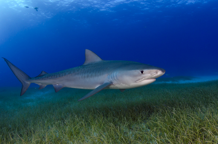 Tiger Shark : Bahamas