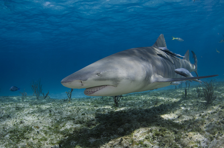 Lemon Shark : Bahamas
