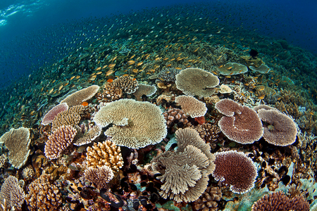 Coral Reef : Milne Bay . Papua New Guinea