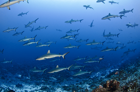 Schooling Grey Reef Sharks : Fakarava . French Polynesia