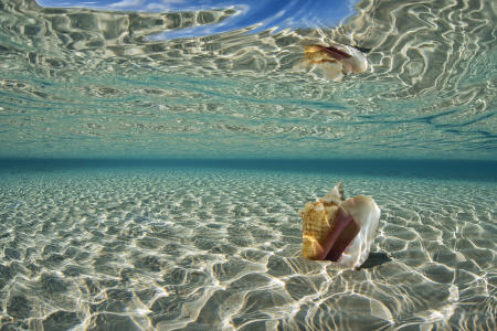 Conch Reflection : Bahamas