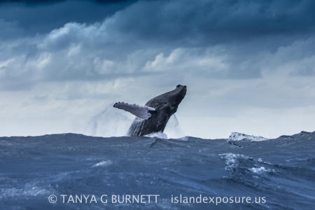 Humpback Whale Breach : Dominican Republic
