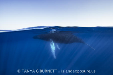 Humpback Whale Split : Dominica Republic