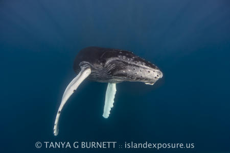 Humpback Whale Calf : Dominican Republic