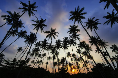 Cocos at Sunset :: Sri Lanka